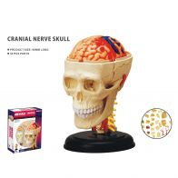 Anatomisk modell, Kranialnerver