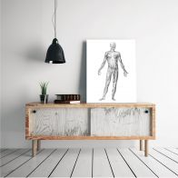 Poster Musculus anatomia, anterior