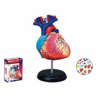 Anatomisk modell, Hjärta